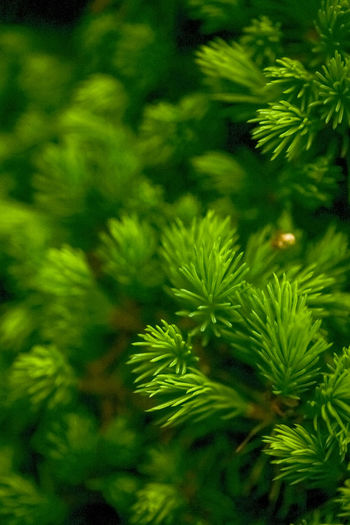 Backgrounds Beauty In Nature Bokeh Close-up Day Evergreen Focus Green Color Growth Leaf Nature No People Outdoors Plant Tree