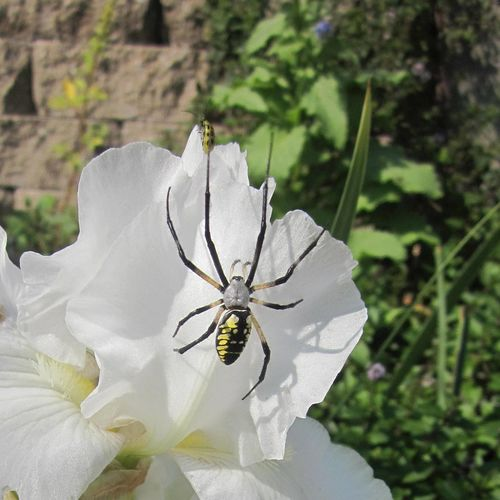 'Yellow Garden Spider and A Bug On An Iris Flower'. I'm sure this little orange bug was in fear for its life when this female orb spider surprised it on the flower. It was relocation day, the spider was on her way to weave a zigzag web in the garden. Black Legs With Silvery Hairs Common Garden Insects Macro Yellow Markings Red Coloration Golden Writing Spider Iris Immortality Orange Bug Reblooming White Iris Tall Bearded Irises Argiope Aurantia EyeEmNewHere Summertime ♥ Arachnophobia Background Photography Female Spider Green Foliage Iris Germanica Muted Orange Orb Weaver Spider Pathological Fear Spider On The Flower Spider Orb Species Sunshine Sun Tan Abdomen Yellow Black Spider
