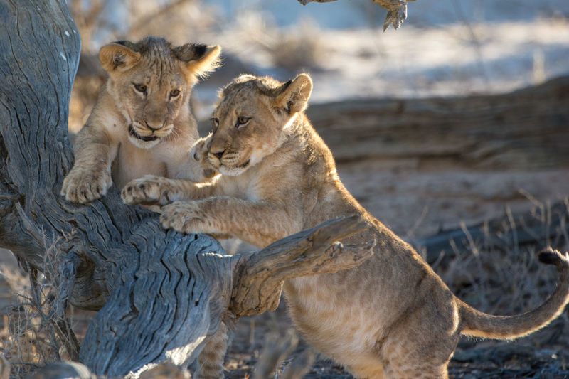 Desert Life EyeEm Nature Lover Animal Themes Animal Wildlife Animals In The Wild Cub Day Kgalagadi Transfrontier Park Lion - Feline Lion Cub Lioness Mammal Nature No People Outdoors My Best Photo