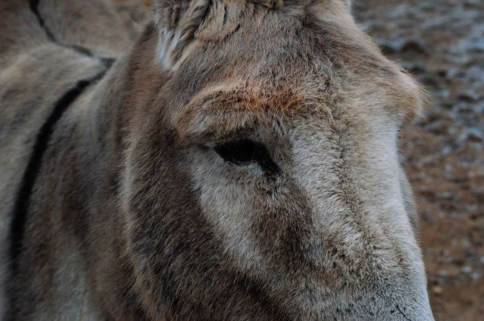 No.127 shot the 1st of January at 9:57 with the Nikon d3200 and the 50mm f/1.8 lens. (ISO 100 I 1/80 I f/6.3) Photo shot in RAW. Animal Body Part Animal Themes Brown Close-up Day Donkey Grey Nature No People One Animal Outdoors