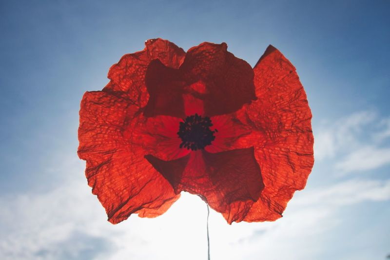 Poppy Poppy Flower Red Sky Cloud - Sky Nature Plant Beauty In Nature Flower Inflorescence Freshness Low Angle View No People Flower Head Day Close-up Sunlight Flowering Plant Leaf Outdoors Blue Fragility