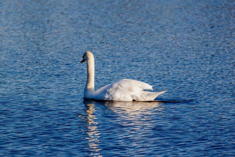 Animals Wildlife Canon500d Canonphotography Canon 70-200mm Nature Wildlife Water Animal Themes Animals In The Wild Animal Wildlife Animal Vertebrate Bird One Animal Swimming Waterfront Nature Swan Water Bird No People Outdoors Lake Day