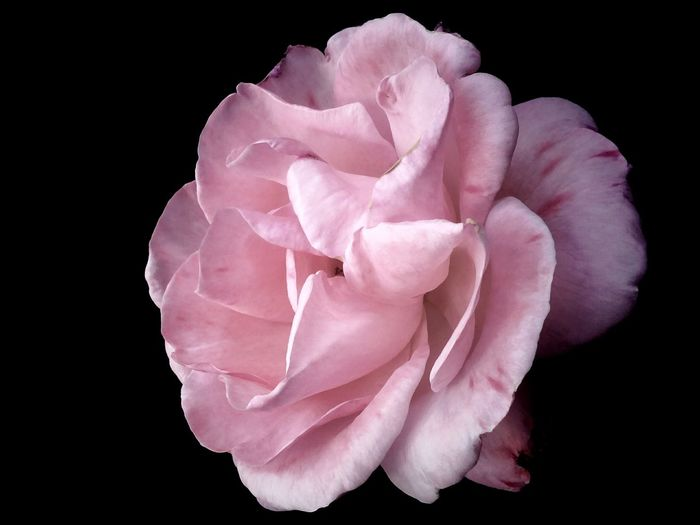 Beauty In Nature Black Background Close-up Day Flower Flower Head Fragility Nature No People Outdoors Petal Pink Color Rose - Flower Studio Shot