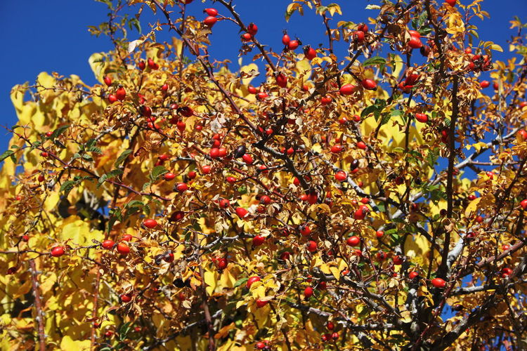 Autumn 2016 Beauty In Nature Blue Sky Branch Close-up Day Dog Rose Fiè Allo Sciliar Growth Italy Nature No People Outdoors Südtirol Yellow And Red