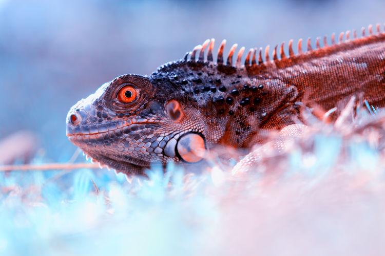 Close-up of iguana