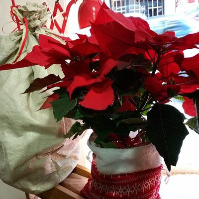 Así mimamos nuestras flores de pascua en Alea floristerías , con saquito de lana térmico para que no pasen frio. we ♡ plants. Alea Flores Xmas Navidad Flordepascua Poinsettia