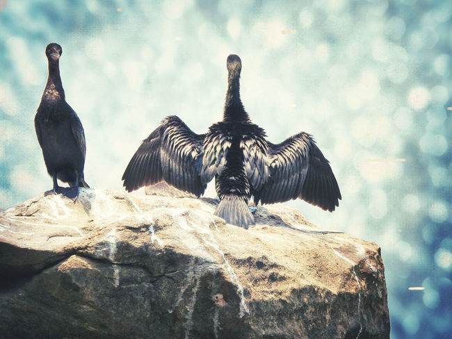 Animal Animal Themes Animal Wildlife Animals In The Wild Bird Cormorant  Day Group Of Animals Nature No People Outdoors Perching Rock Rock - Object Solid Spread Wings Vertebrate Inner Power