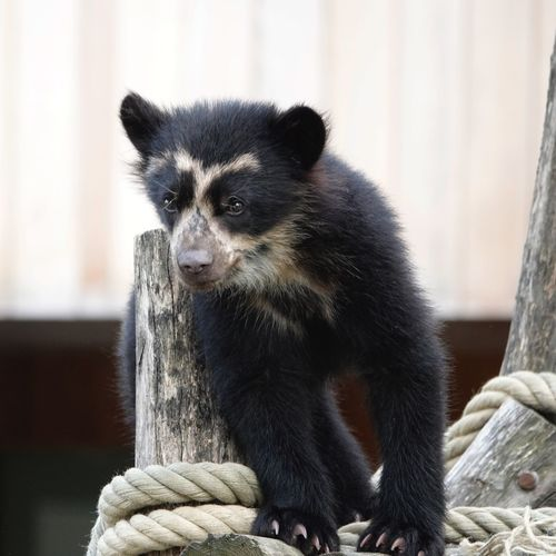 Spectacled Bear Jong Animal Tremarctinae Short-faced Bear Jukumari Andean Bear Tremarctos Ornatus Bear Mammal One Animal Animal Wildlife Vertebrate Focus On Foreground No People Animals In The Wild Looking Black Color Animals In Captivity Zoo Close-up Outdoors