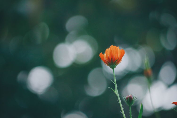 Orange Cosmos.. Flower Beauty In Nature Orange Color Nature Close-up Cosmosflower Bokeh