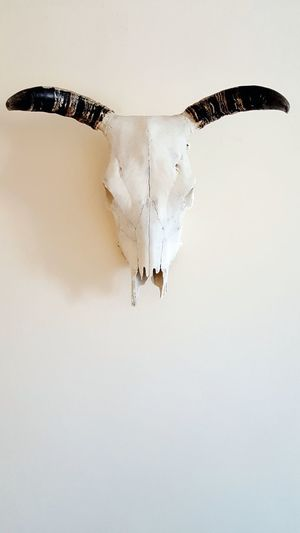 EyeEm Selects Beauty In Nature Day Close-up Skull Cow Skull Taxidermy Cow Bovine Nature Indoors  Backgrounds Wildlife Full Frame Animal Themes