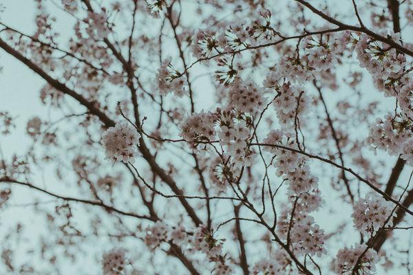 Beauty In Nature Cherry Flower Garden Japan Japanese  Kairakuen Kairakuengar Nature Nature_collection Plum Plumblossom Sakurablossoms Sand Spring Tokyo Ume Umeblossom Break The Mold