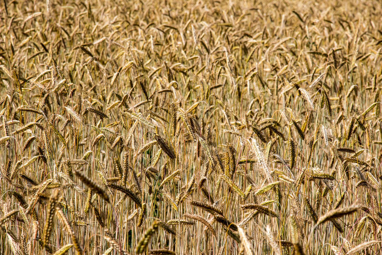 cornfield in summer Corn Cornfield Wheat Wheat Field Summer Summertime Harvest Time Harvest Season Golden Color Corn Field Field Plant Land Agriculture Growth Day Farm Nature No People Crop  Cereal Plant Full Frame Rural Scene Landscape Backgrounds Food Outdoors Close-up