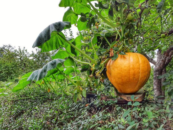 Close-up of pumpkin on tree