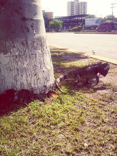 ParqueDelEste In Barquisimeto T-Rex !  Animals