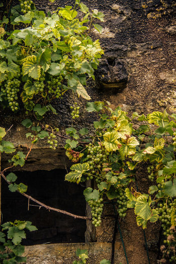 Burgundy Close-up Day France Grapes Growth Growth Leaf Nature No People Old House Outdoors Plant Wild