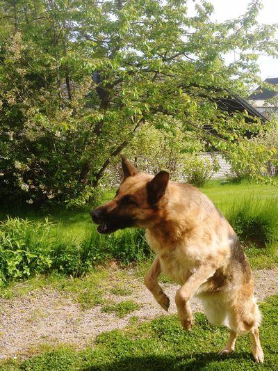 Dog German Shepherd Outdoors Jumping