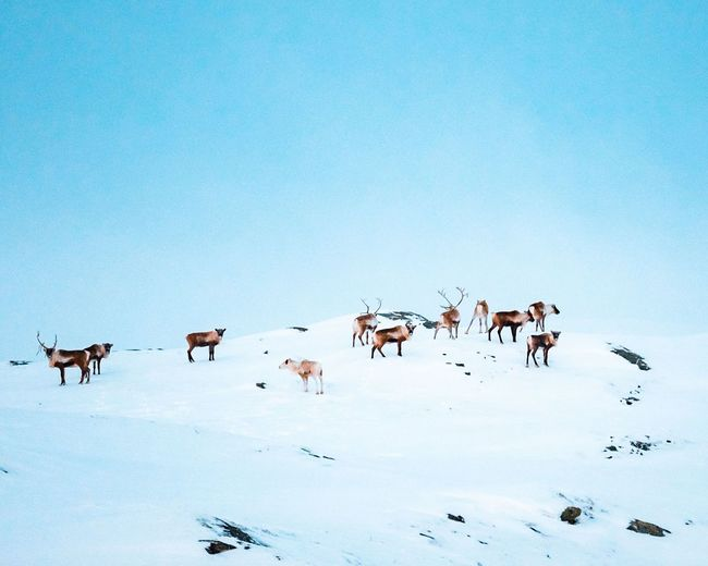 Herd Of Reindeer In Snow Against Clear Sky