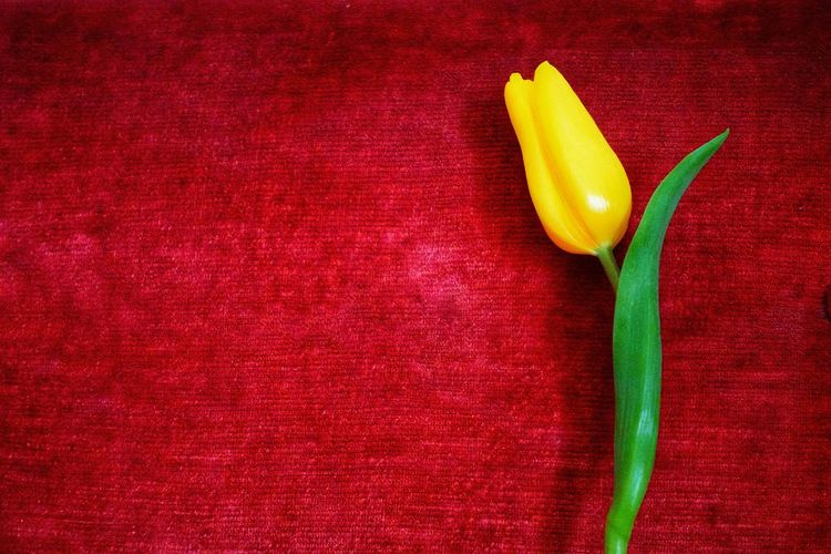 High angle view of yellow rose on red wall