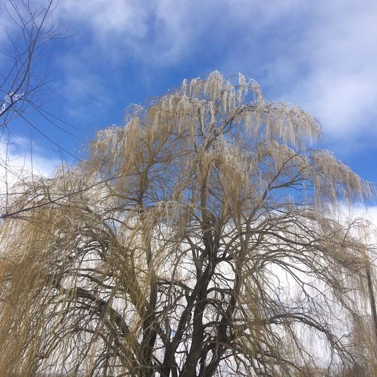 Our old Willow tree glistening in the sun, showing off all the ice on each. & every branch. This photo is the purists - no edits have been used. The sky has cleared up & the sun is giving us a beautiful view. No People , WINTER