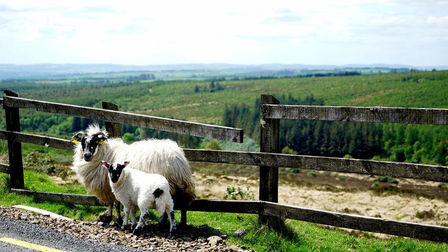 Sheep and lamb near fence at roadside