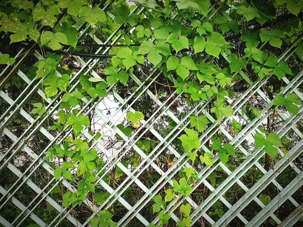 Protection Leaf Safety Full Frame Green Color Backgrounds Chainlink Fence Close-up Security Plant Fence Growth Outdoors Overgrown Green Day Nature Fragility Boundary Creeper Check This Out Taking Photos No People Beauty In Nature Flower Arrangement