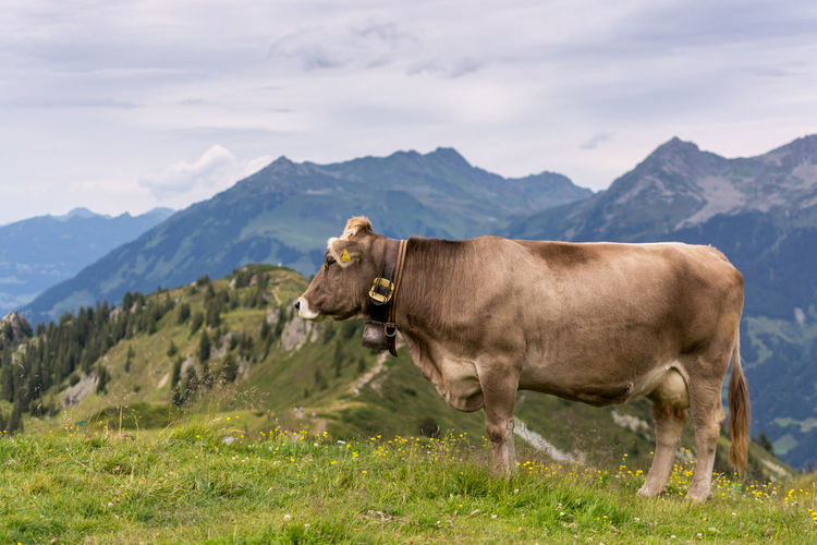 Scenic view of cow standing on field