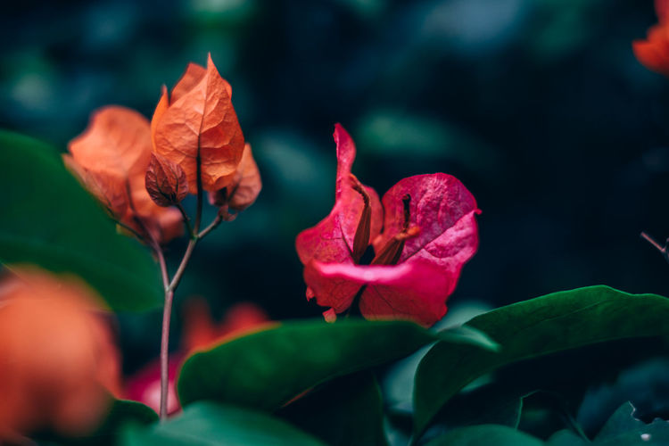Backgrounds Beauty In Nature Blooming Bougainvillea Close-up Copy Space Exotic Flower Flower Head Foliage Fragility Freshness Gardening Green Color Growth Hybrid Leaf Nature Orange Outdoors Petal Plant Red Selective Focus Shrubs My Best Photo Springtime Decadence