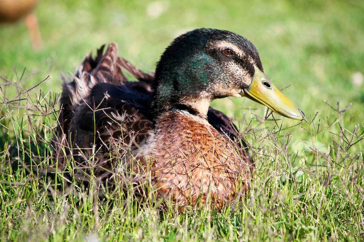 Animal Themes Animal Wildlife Animals In The Wild Beak Bird Close-up Day Duck Focus On Foreground Grass Nature No People One Animal Outdoors Water Bird