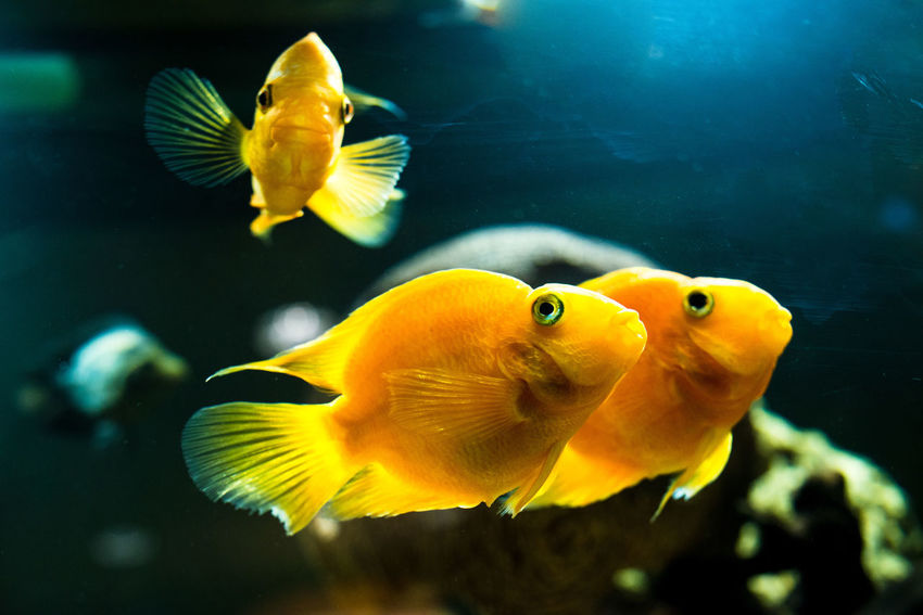 Animal Themes Animal Wildlife Animals In Captivity Animals In The Wild Aquarium Blue Close-up Clown Fish Day Fin - Fish Part Fish Indoors  Nature No People One Animal Sea Life Swimming UnderSea Underwater Water Yellow