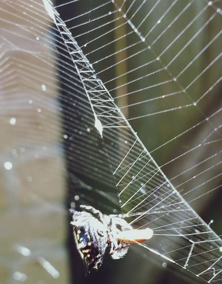 It finally caught a bug... Spider Web Fragility Spider Web Complexity Intricacy Animal Themes Nature Close-up Outdoors Beauty In Nature Weaving Spiny Orb Weaver EyeEm Nature Lover Popularphotos EyeEm Gallery EyeEm Best Shots Beauty In Nature