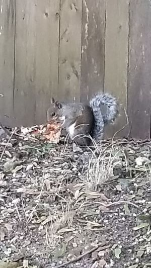 Squirrel eating pizza Animal Themes No People Wood - Material Animal Wildlife Animals In The Wild Day Outdoors Photograph Nature Mammal Bird Close-up Pizza Pizzalover🍕🍕🍕 Food Meat