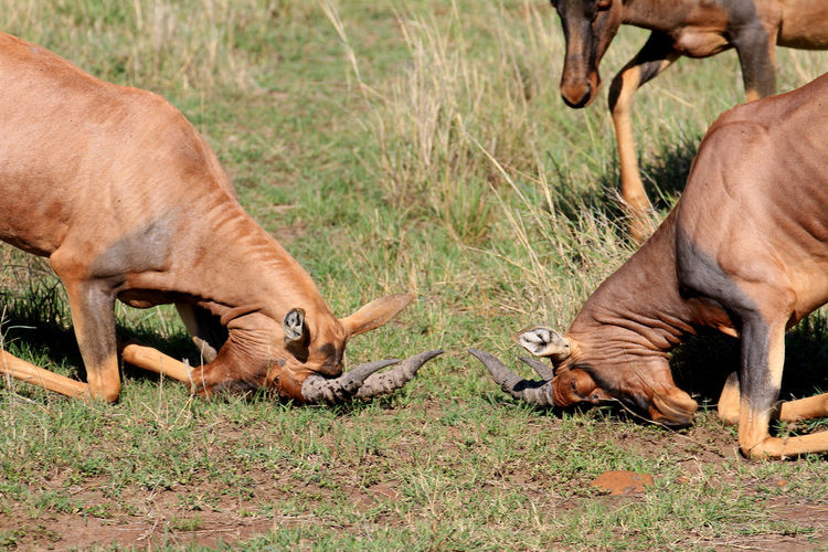 MasaiMara Kenia Safari Animal Animal Family Animal Leg Animal Themes Animal Wildlife Animals In The Wild Care Day Deer Domestic Animals Grass Human Body Part Mammal Outdoors People Survival Young Animal