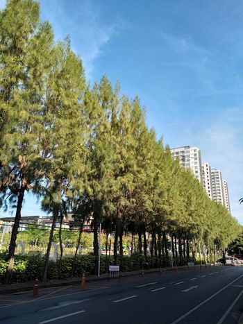 Pine Tree 🌲🌲🌲🌲🌲 Beauty In Nature Blue Green Color Fresh Air Atmosphere Freedoom  Free Time Springtime Day Tranquil Scene Nature Sky Road Outdoors No People Walking Around Exercise Time Freedom Of Life EyeEmNewHere Bangkok City