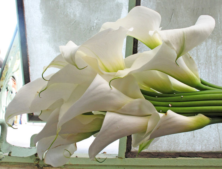 Beauty In Nature Calla Calla Lily Close-up Day Flower Flower Head Fragility Freshness In Bloom Nature No People Petal Purity White White Color