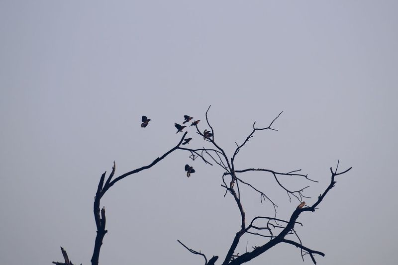 Low angle view of silhouette bird perching on bare tree against clear sky