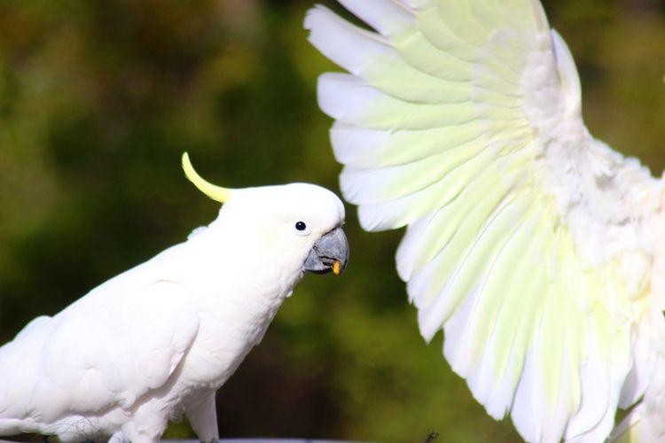 Close-up of sulphur-crested cockatoos