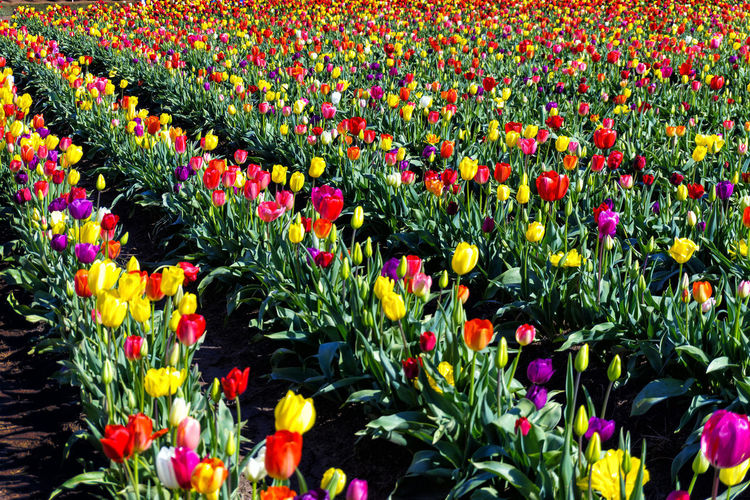 Rows of tulips of every color of the rainbow in Woodburn, Oregon Agriculture Bloom Blossom Countryside Farm Field Fields Floral Flower Flowers Garden Green Landscape Nature Oregon Outdoors Plant Rural Scenic Season  Tulip Tulips United States USA Woodburn