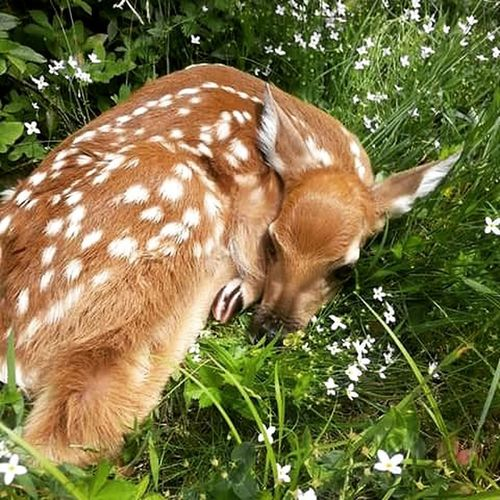 A fawn on my