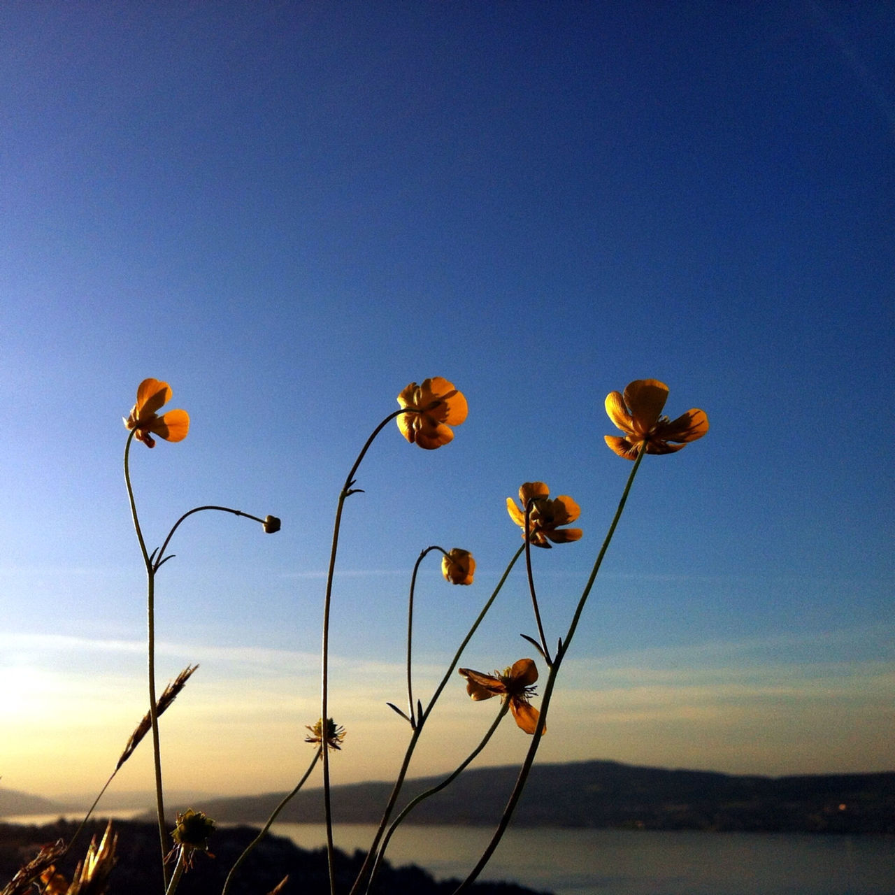 Close-up of flowers growing against sky at sunset