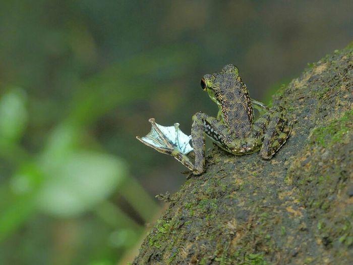 Frog Borneo Rainforest Frog Skipper Foot Flagging Rock Frog Tropical Paradise Tropical Rainforest Nature Photography Amphibian Amphibians Frogs Stream Dancing ナガレガエル 足旗