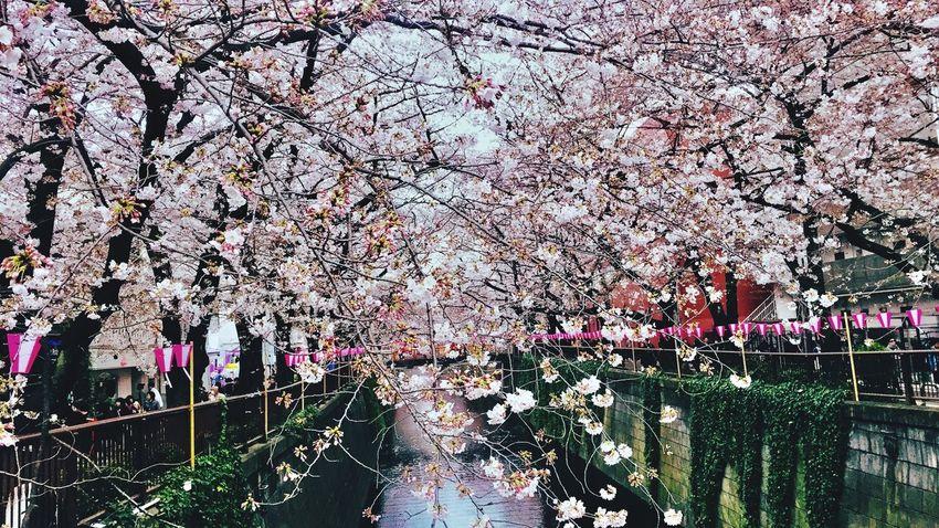 Tree Flower Cherry Blossom 170403
