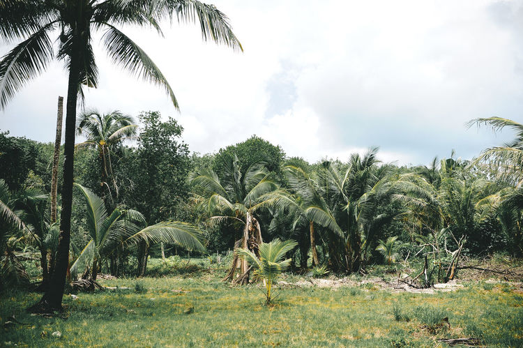 Phuket Thailand Agriculture Beauty In Nature Coconut Island Day Field Growth Landscape Nature No People Outdoors Palm Tree Scenics Sky Tree