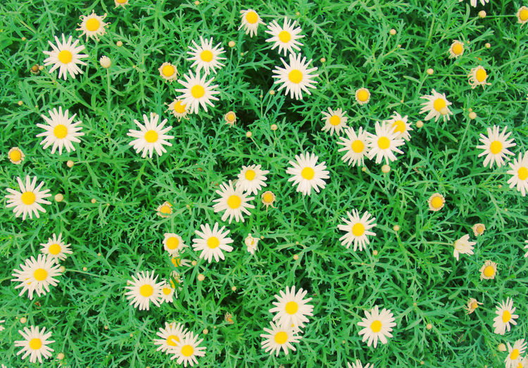 Flower Flowering Plant Plant Freshness Flower Head Beauty In Nature Petal Fragility Inflorescence Vulnerability  Growth Nature Green Color Backgrounds No People Close-up Yellow Daisy Day Botany Pollen Outdoors Springtime Flowerbed Spring Spring Flowers
