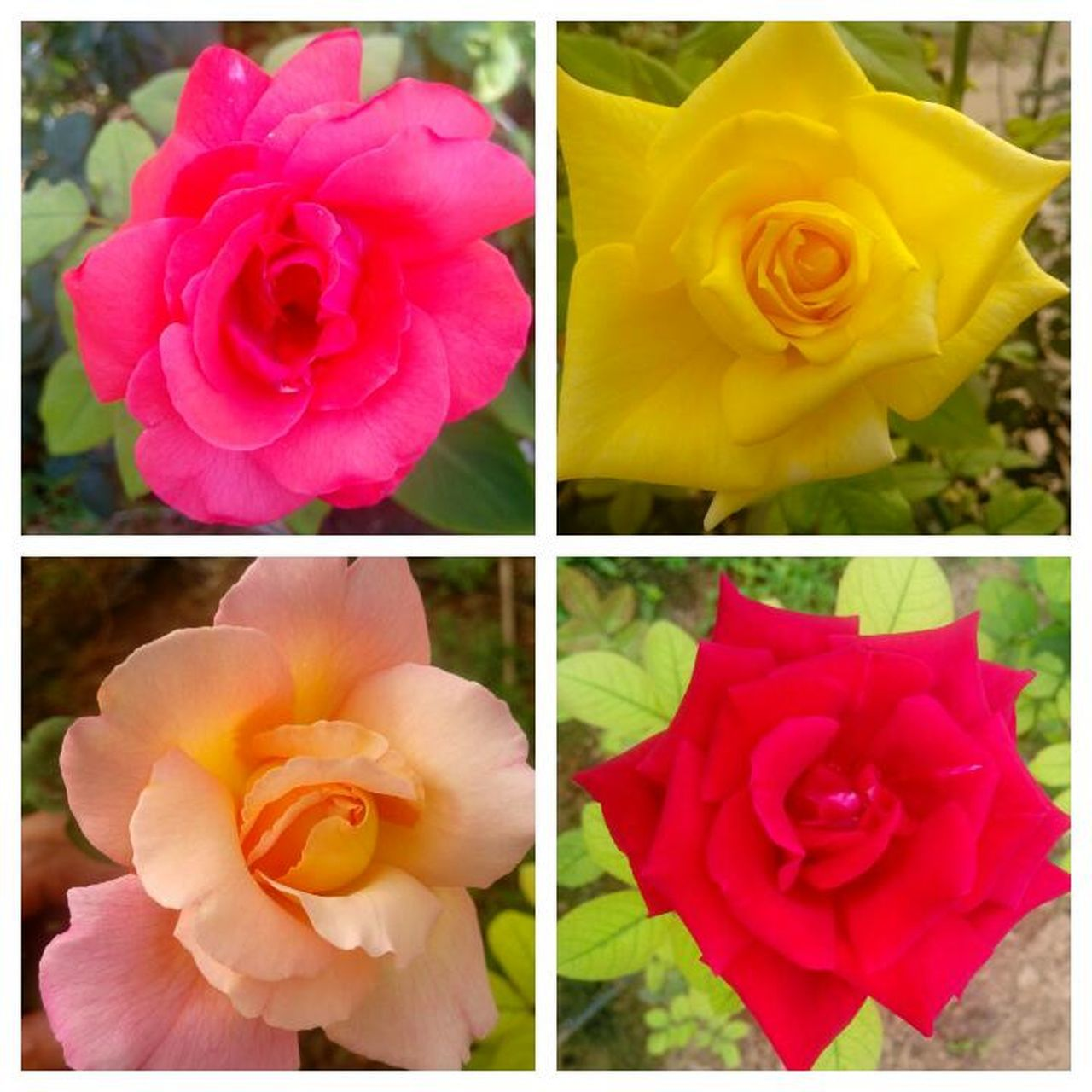 flower, petal, nature, beauty in nature, collage, flower head, blooming, yellow, growth, rose - flower, fragility, plant, freshness, no people, close-up, multiple image, outdoors