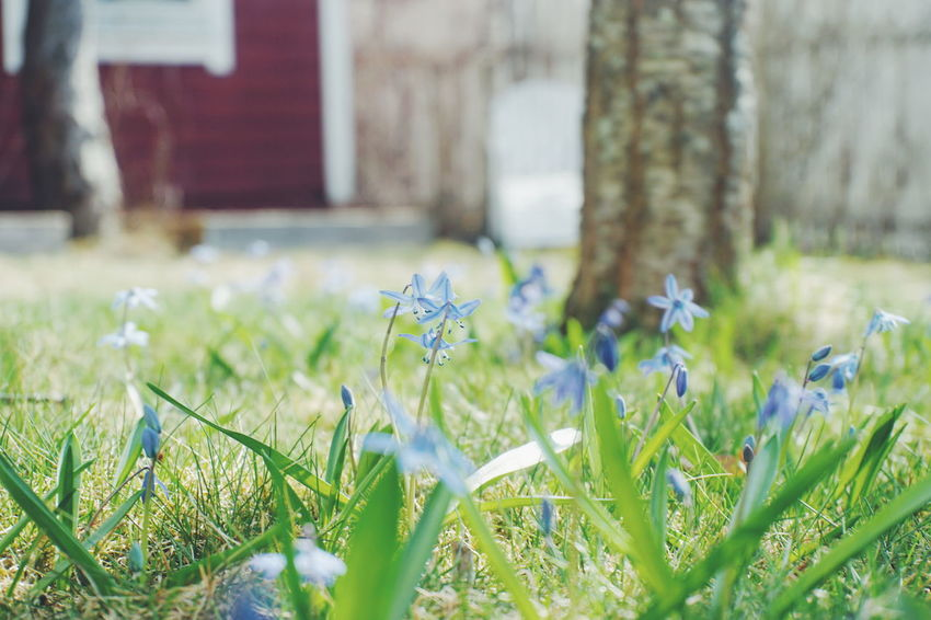 scillas in the grass Scilla Scilla Spring Springtime Spring Flowers Low Angle View Grass Garden Appletree Flower Flower Head Summer Meadow Close-up Grass Plant In Bloom Crocus Blade Of Grass Blossom Pistil Growing Plant Life Blooming Botany