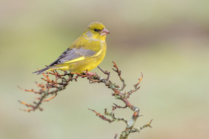 Chloris Chloris European Greenfinch Animal Themes Animal Wildlife Animals In The Wild Beauty In Nature Bird Branch Close-up Day Nature No People One Animal Outdoors Perching Songbird