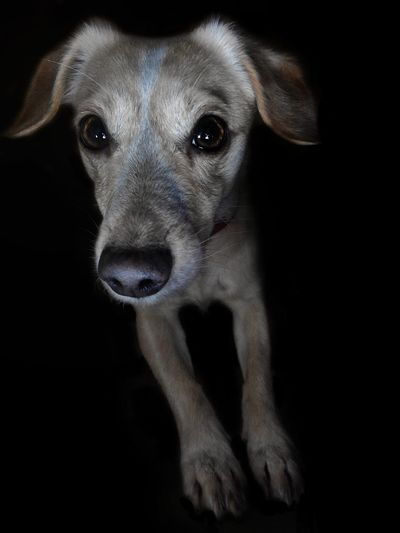Dog Looking At Camera Black Background Pets No People Animal Themes Oh_my_dog