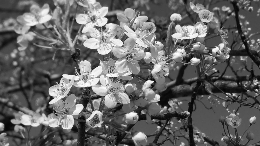 Nature Growth Flower Beauty In Nature Plant Outdoors Flower Head No People Fragility Day Close-up Freshness Tree Silhouette Black And White Collection  Black And White Excellence