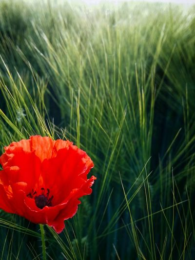 Spring 2016 Collection Poppy Art Single Poppy In A Wheat Field Red Passion Mobile Photography Fine Art Close-upBacklight Mobile Editing