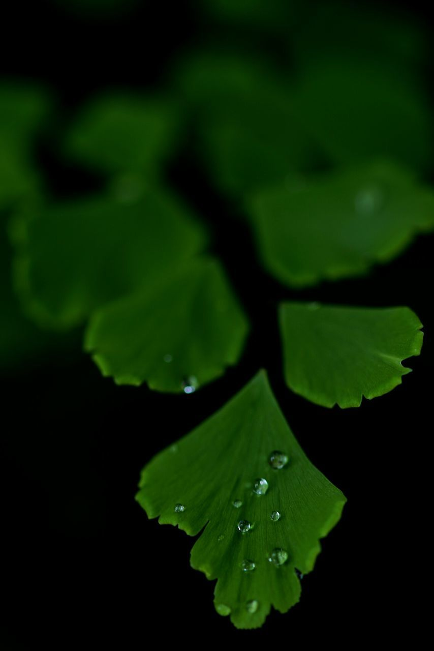 Macro Shot Of Raindrops On Green Leaves On Black Background